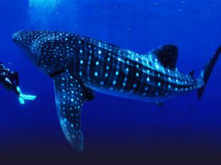 Tiburon ballena en Donsol
