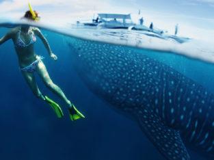 Tiburon ballena en Puerto Princesa