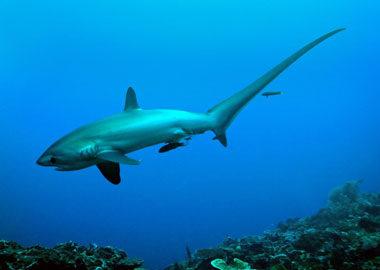 Tiburón zorro en Malapascua